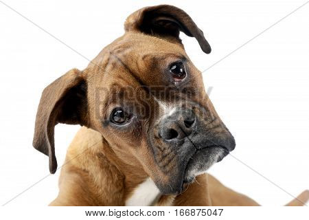Portrait Of An Adorable Boxer Dog