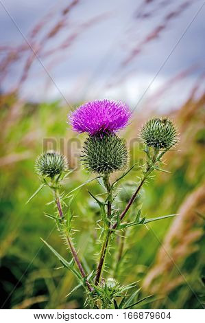 Thistle buds and flowers on a summer field. Thistle flowers is the symbol of Scotland.