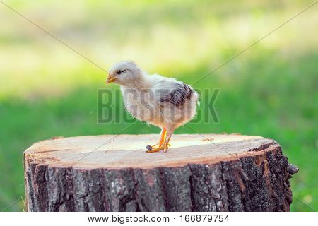 Cute Little Chick.