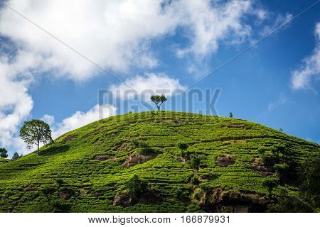 Green tea farm with blue sky background. Tea farm in Nuwara Eliya, Sri Lanka. Green tea leaf. Tea farm plantation on hill. Lonely tree on tea farm plantation. Ceylon tea plantation.