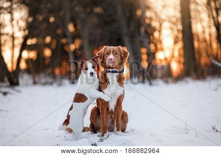 Dog Jack Russell Terrier And Nova Scotia Duck Tolling Retriever