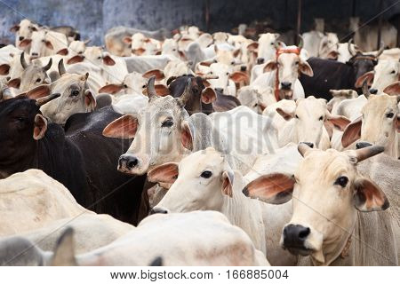 a herd of indian cows near govardhan hill in vrindavan, uttar pradesh, india