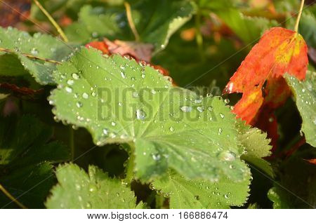 Dew on Lady's Mantle and Autumn leaves