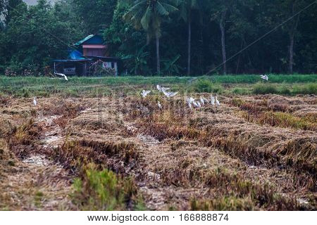 White birds flying above a rice field or terrace