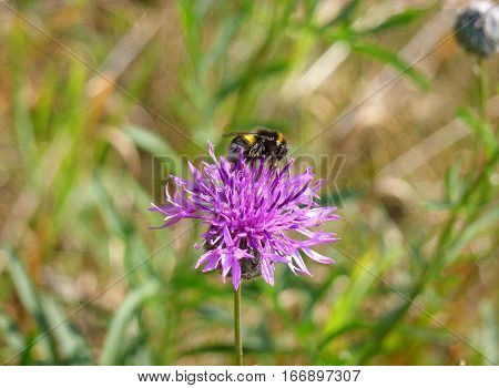 Photo of a bumble bee sitting on a pink flower