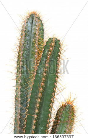 green vertical cactus with prickers isolated on white