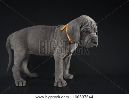 Blue Great Dane puppy standing on a dark background