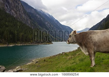 Cows in an Alpine meadow with turquoise lake in background. Tirol, Austria.
