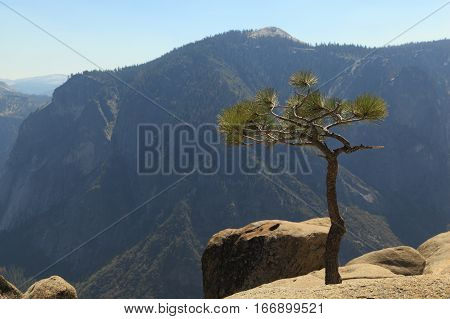 A young Whitebark Pine (Pinus albicaulis) tree growing at the edge of a cliff. Photographed at Upper Yosemite Fall, Yosemite National Park.