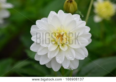 Closeup of Beautiful dahlia flower in full bloom in the garden.
