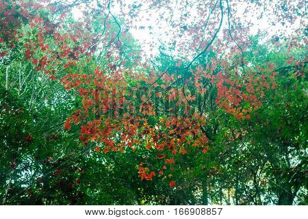 Red maple trees or trees originating in the continental Europe.