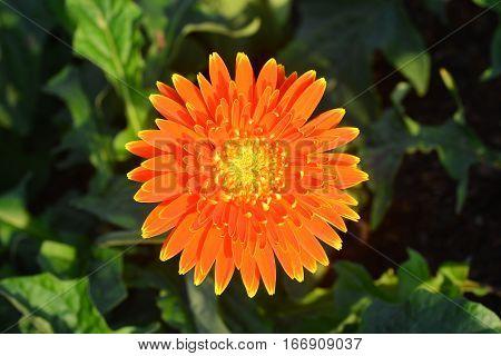 Beautiful gerbera flower in garden *** selective focus.