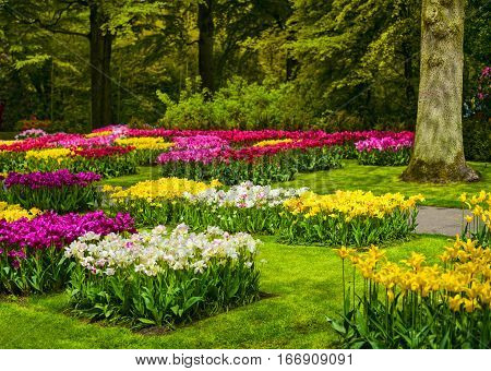 Garden in Keukenhof colorful tulip flowers and trees on background in spring. Netherlands Europe.