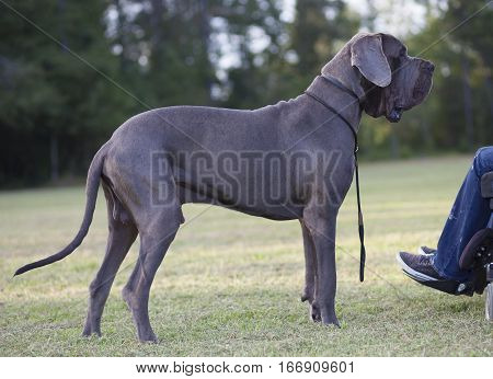 Purebred blue Great Dane next to its owners wheelchair