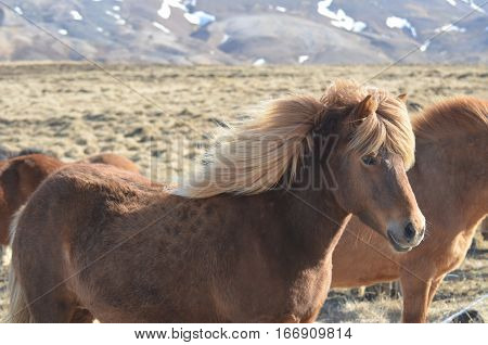 Shaggy blonde Icelandic horse with the wind blowing his mane.