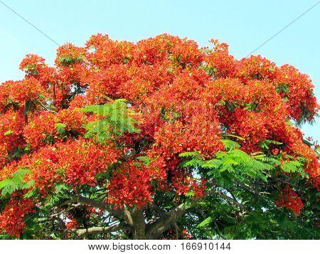 Red acacia in Edith Wolfson Park in Ramat Gan Israel June 22 2011