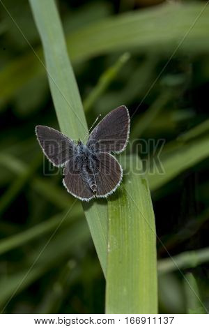 Tiny Small Blue butterfly Cupido minimus basking on a blade of grass with wings open at Badbruy Rings in Dorset England