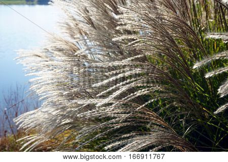 Chinese silver grass (Miscanthus sinensis) stands tall beside a small, man-made lake in Joliet, Illinois during November.