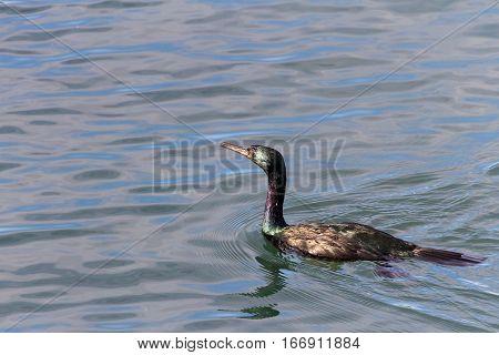 Pelagic Cormorant water bird in bc canada