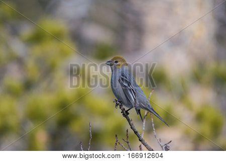 A Female Pine Grosbeak Perched on a Branch