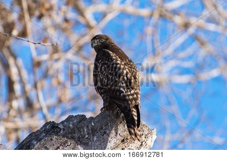 A Juvenile Dark Morph Red-tailed Hawk Perched on Tree Stump