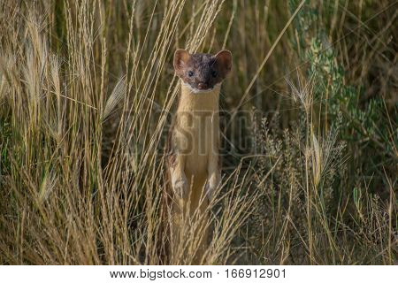 A Short-tailed Weasel Peeking up out of the Tall Grass