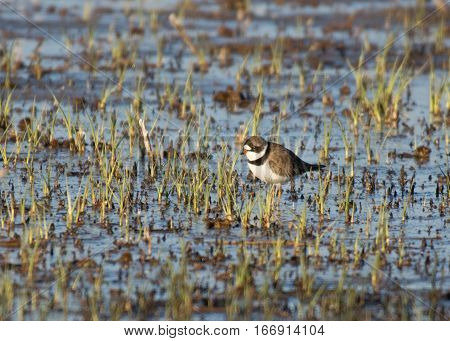 Semipalmated Plover Foraging for Food in a Mudflat