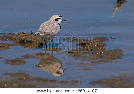 A Snowy Plover Searching the Shoreline for Food