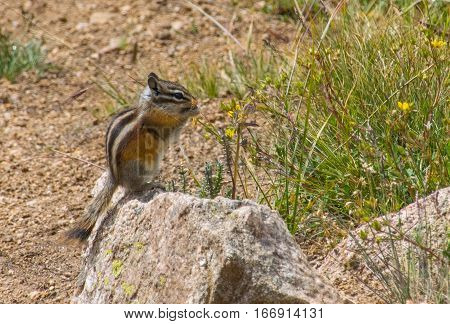 A Least Chipmunk Pauses for a Quick Snack