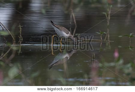 A Solitary Sandpiper Foraging for Food in the Water