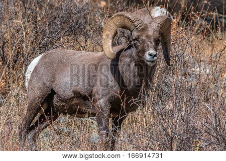 A Bighorn Sheep Ram Searching for Food Along a Mountain Side