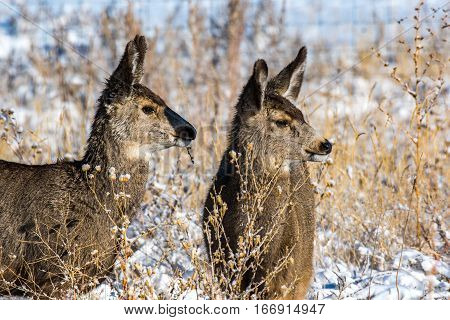 Young Mule Deer Siblings Checking Something out in Late Fall