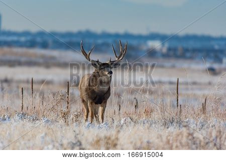 A Large Trophy Mule Deer Buck in Late Fall Colorado