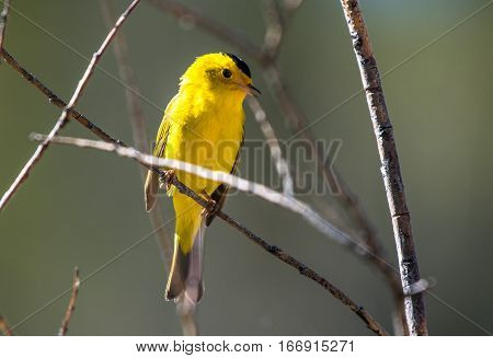 A Wilson's Warbler Perched on a Tree Branch