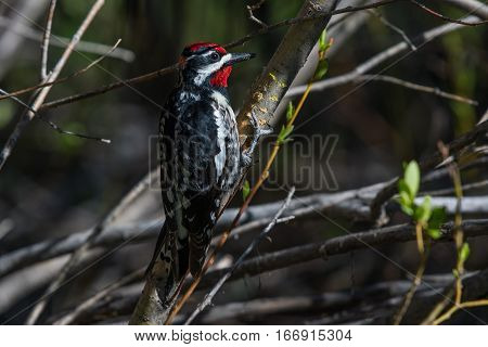 Red-naped Sapsucker Looking for Food in the Brush