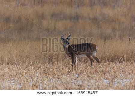 A White-tailed Deer Buck Eating on a Fall Morning