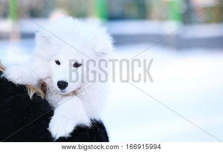 Woman with cute samoyed dog outdoors on winter day