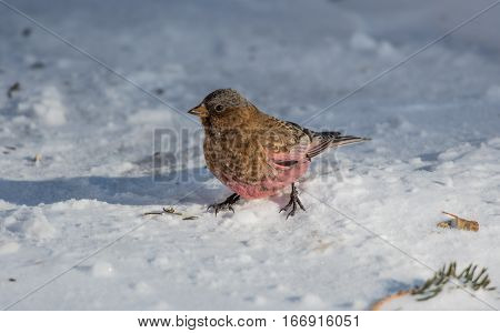 A Brown-capped Rosy Finch Searching for Food On Snowy Ground