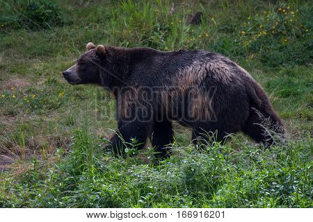 A Brown (Grizzly) Bear Strolling through His Domain