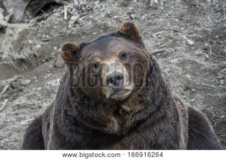 A Docile and calm Grizzly Bear Calmly Observing Photographer