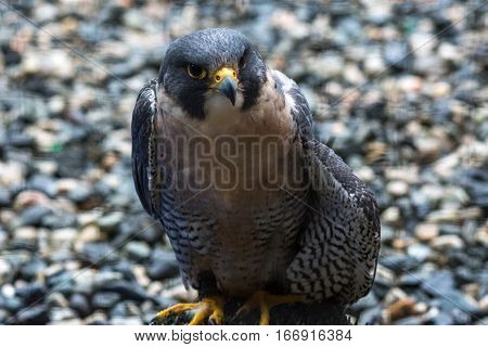 A Peregrine Falcon on the Ground Poses for a Photo