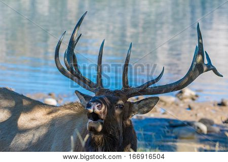 A Bull Elk at the Lake during Mating Season
