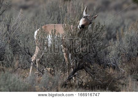 A Female Pronghorn eating through a sagebrush Yellowstone National Park