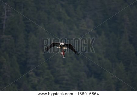 A Bald Eagle with Dinner Flying Home