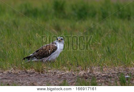 A Ferruginous Hawk on the Ground looking for Food