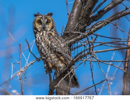 A Long Eared Owl Perched on a Branch in Broad Daylight