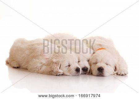 Three sleeping one month old puppies of golden retriever isolated on white