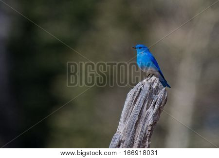 A Mountain Bluebird on top of a Wooden Fencepost