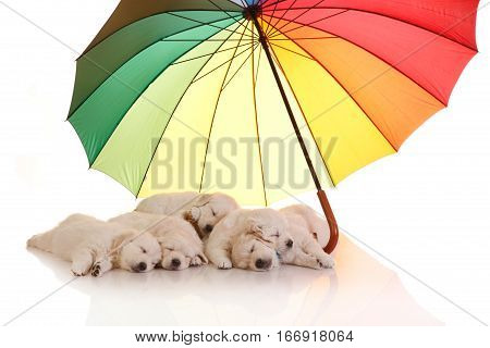 Five one month old puppies of golden retriever sleeping under colorful umbrella isolated on white