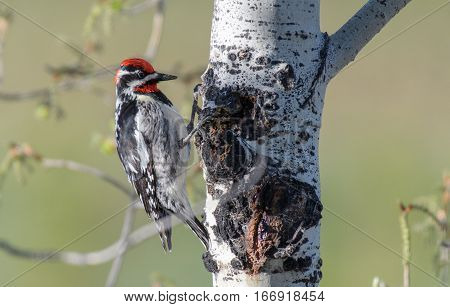 Red-naped Sapsucker Looking for Food in Aspen